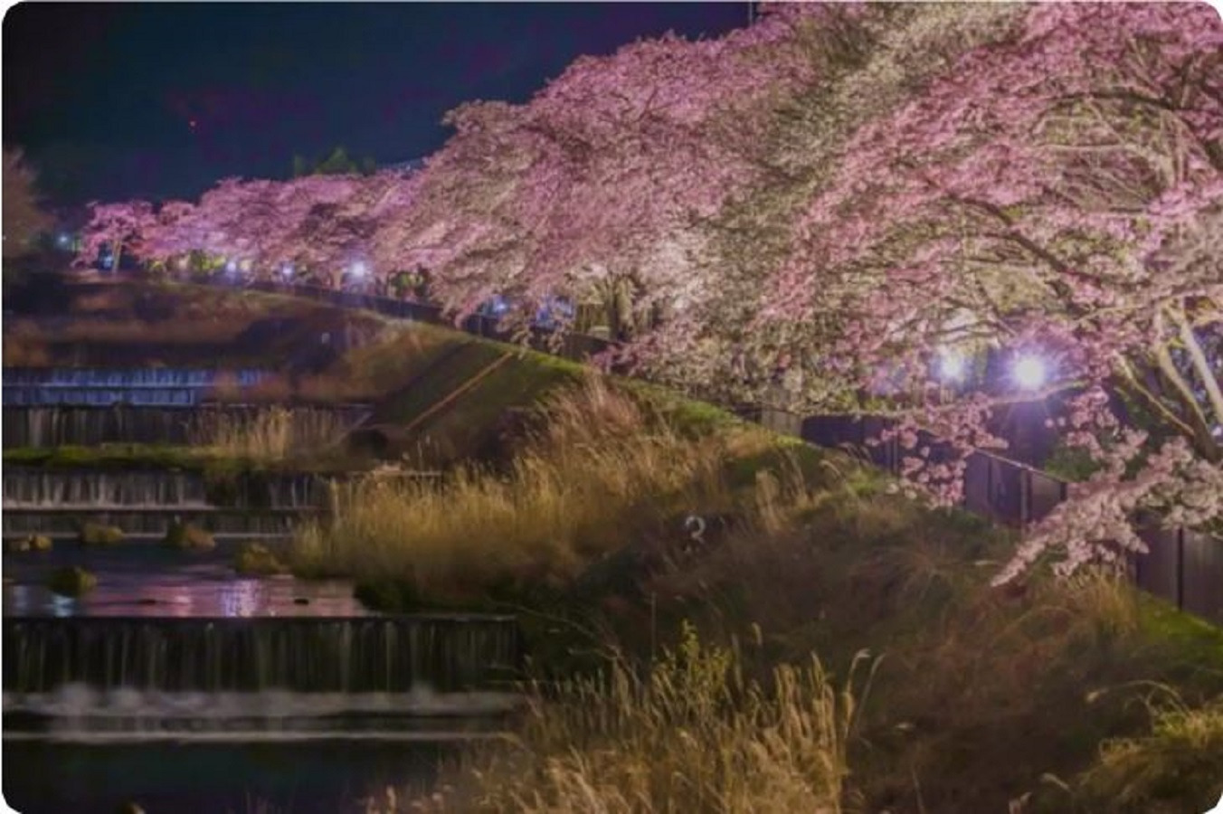 Cherry blossoms in Miyagino