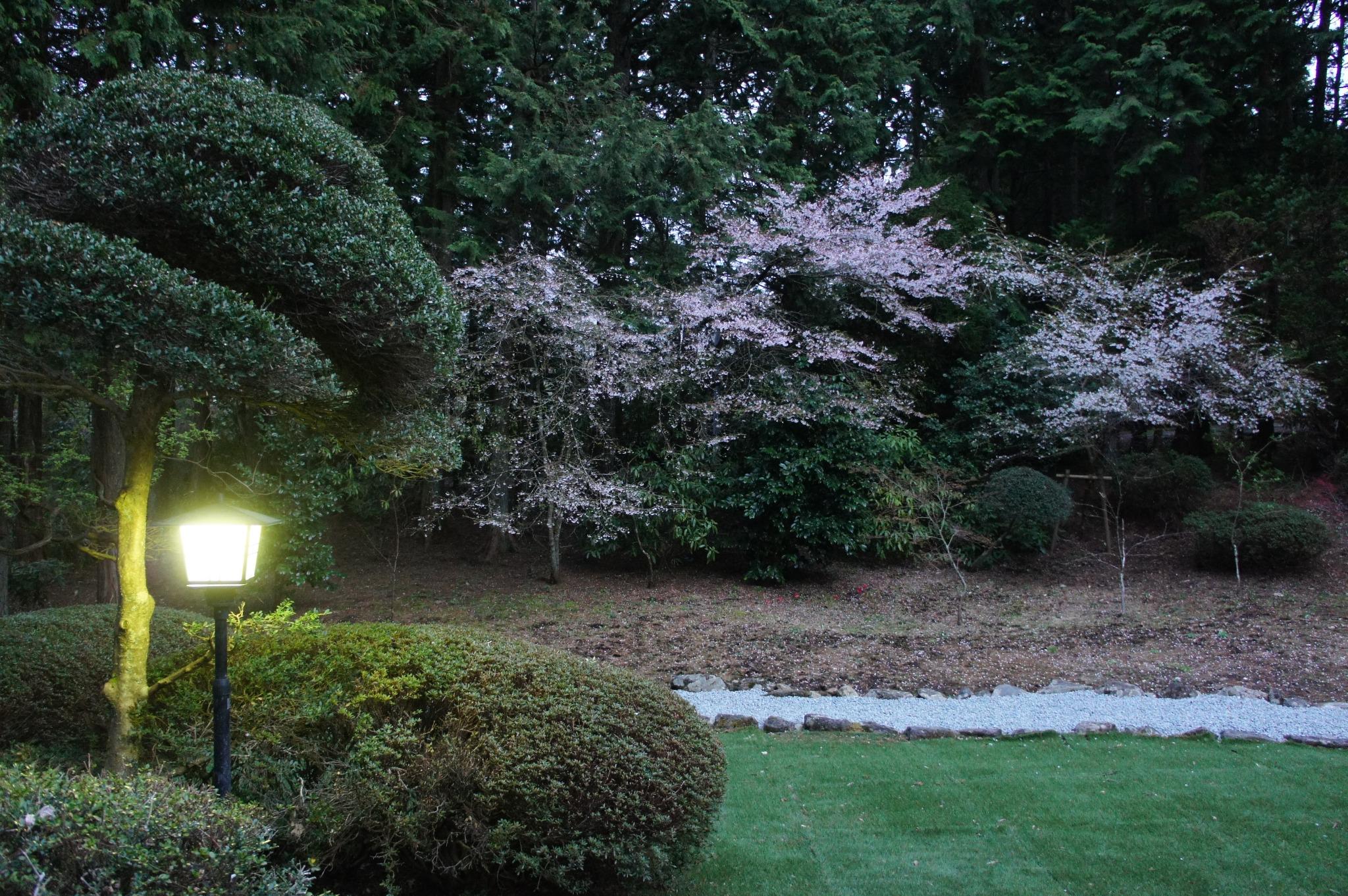 Night Sakura.