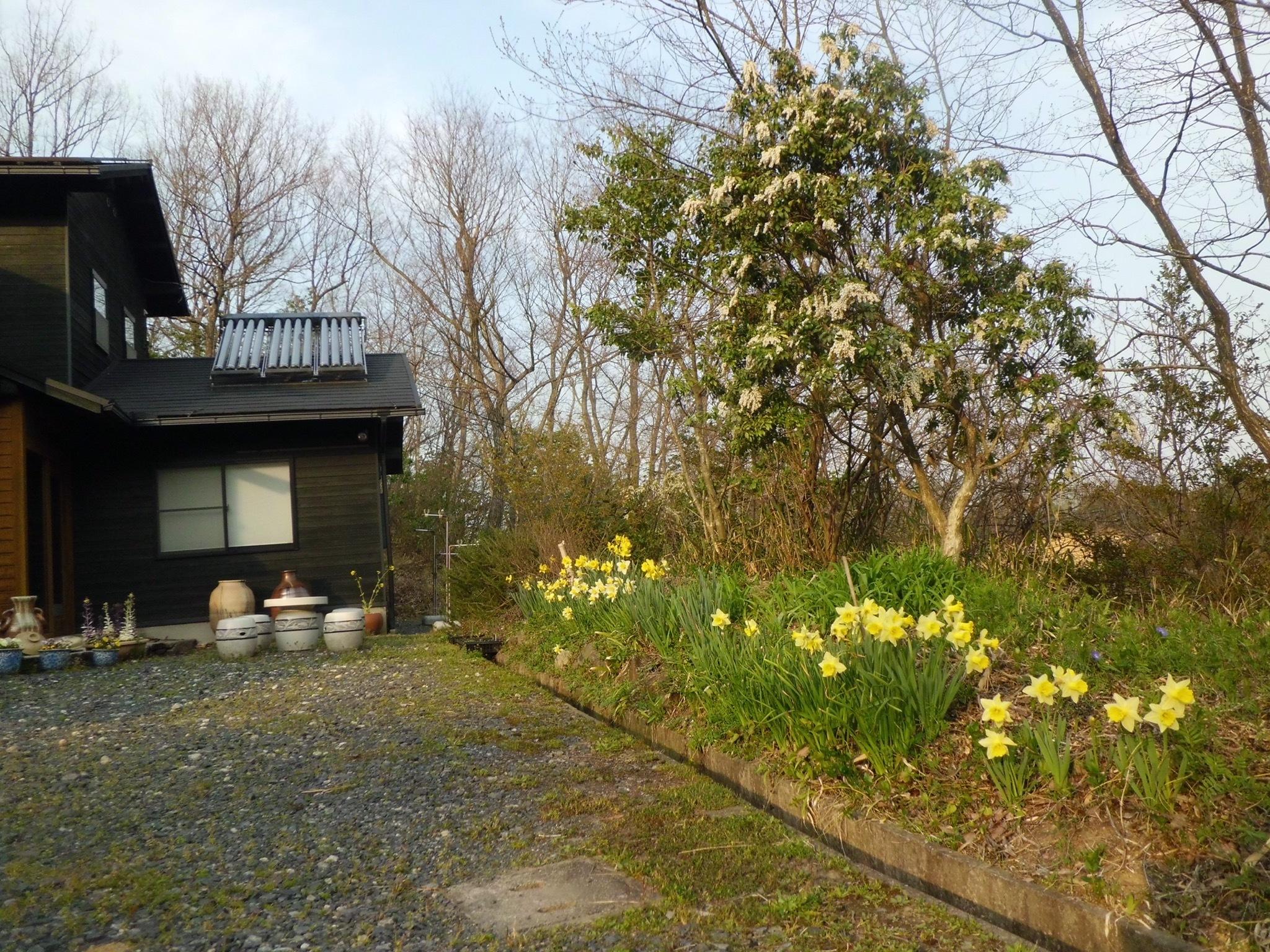 春・ラッパ水仙が満開