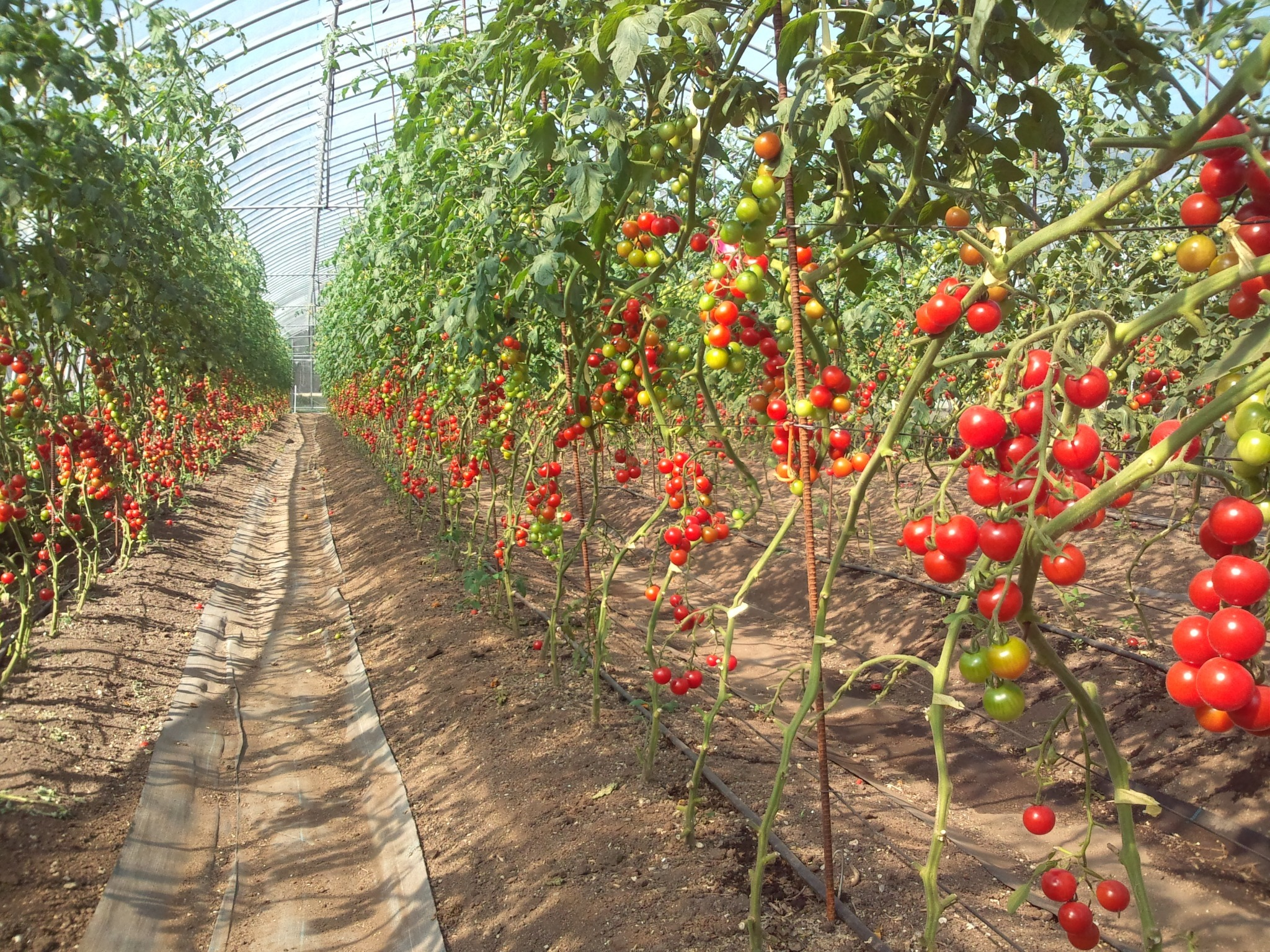 【Cherry tomato's house】There are many vegetables in our farm (July - September).
