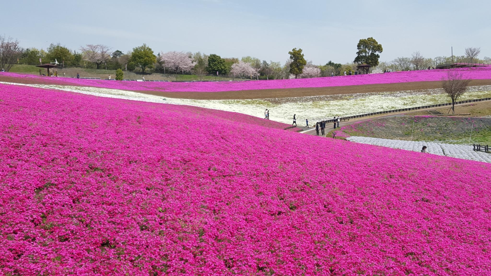 太田市春の芝桜