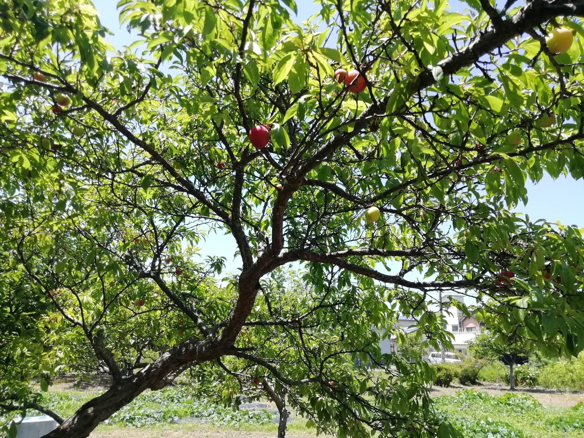 リンゴの果実(家庭菜園)